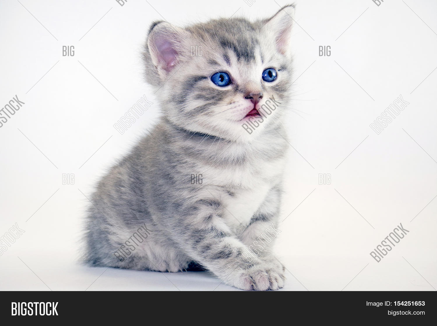 Cute American Shorthair Cat Kitten Image &