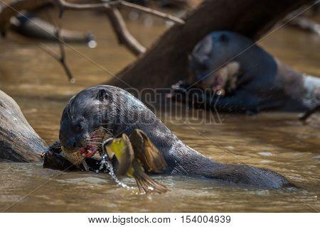 Giant River Otters Eating Fish Beside Bird