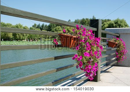 Bindweed growing at basket in public park. Basket is fixed on the railing of bridge.