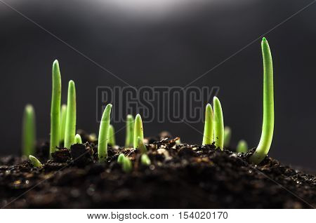 little green sprout of wheat sprouted in the spring from the earth