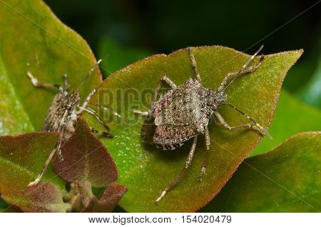 Brown marmorated stink bug (Halyomorpha halys) agricultural pest - italian cimice asiatica