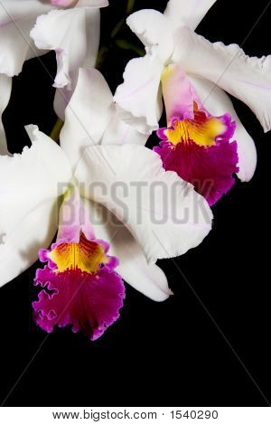 Orchids Flowers On Black (Cattleya Sp)