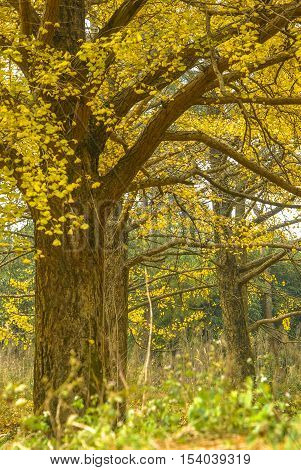 The beautiful ginkgo trees scenery in autumn