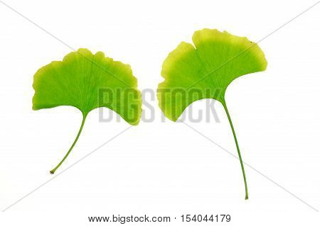 Ginkgo leaf isolated on white background for design
