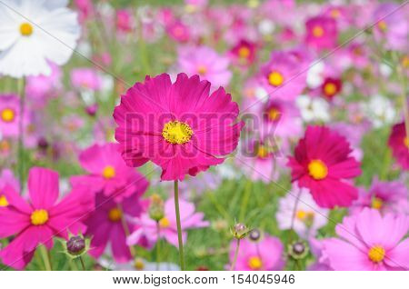Colorful Cosmos Flowers