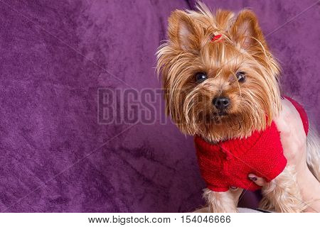 Yorkshire Terrier in warm clothes on purple background