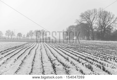 Monochrome image of snow covered field with corn stubble in the Netherlands. It is a foggy day in the winter season