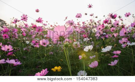 Colorful Cosmos Flowers in Nature - Stock Photo