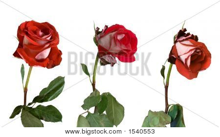 Three Stages Of Withering Of A Rose
