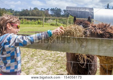 Little kid feeding big lama on an animal farm. Cute young boy feeding alpaca in farm. Active leisure with children outdoors. Child feeds lama at pet zoo.