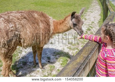 Little kid feeding big lama on an animal farm. Cute little girl feeding alpaca in farm. Active leisure with children outdoors. Child feeds lama at pet zoo.