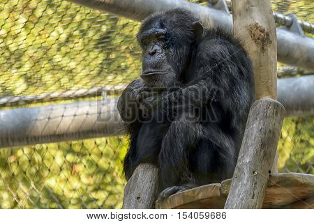 Staring Chimpanzee