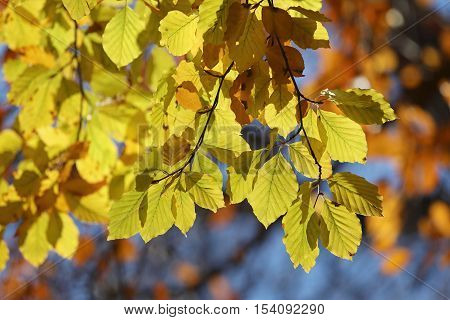 Warm yellow branch of linden tree during autumn blue sky in the background