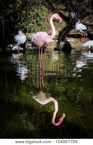 Flamingo One Leg Standing Water Pink Reflection Symmetric Pond Lake Zoo Exotic Animal Bird Looking A