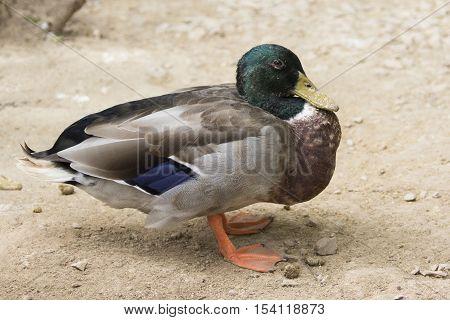 Image of male mallard ducks (Anas platyrhynchos) on ground background.