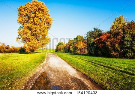 Old linden tree with gold leaves walking path and lawn. Autumn landscape