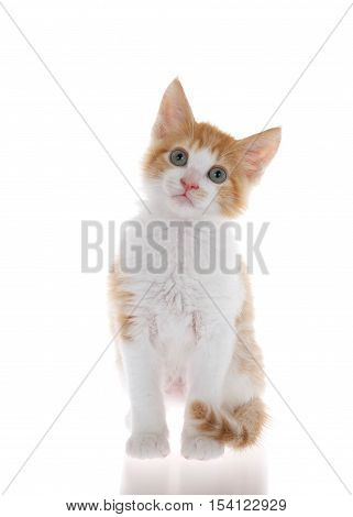 Orange and white tabby kitten sitting on slightly reflective surface looking at camera. Isolated on white background. Head slightly tilted as if curious listening