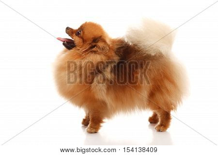 Pomeranian Spitz on the white background side view
