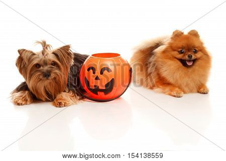 Two sweet dog -Yorkshire terrier and Pomeranian Spitz sit with Halloween pumpkin and trick or treating.