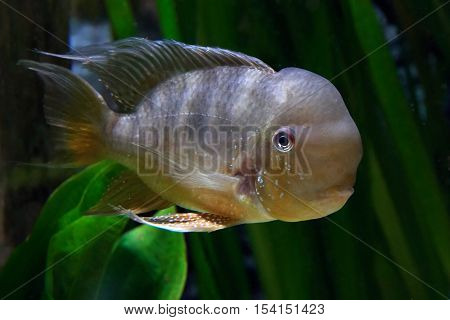 Argentine humphead (Gymnogeophagus balzanii) seen from the side with vegetation in the background