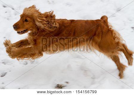 English Cocker Spaniel Jumping