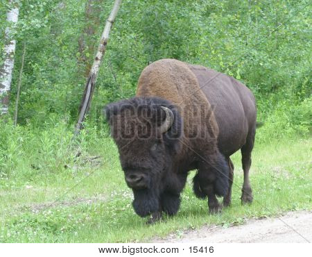 Male Bison