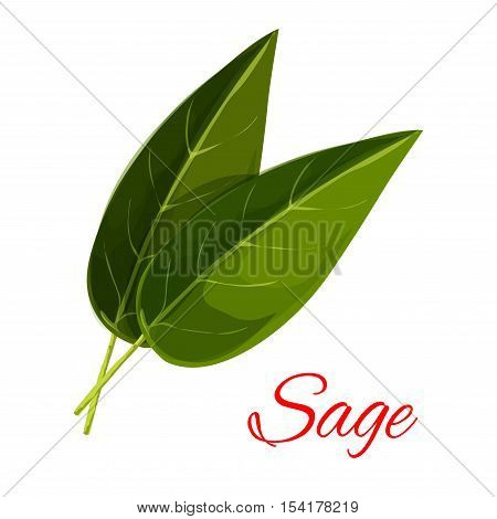 Sage leaves. Vector isolated aromatic spice herb icon. Vector emblem of green sage leaf for culinary condiment, cooking ingredient, package sticker, label design element