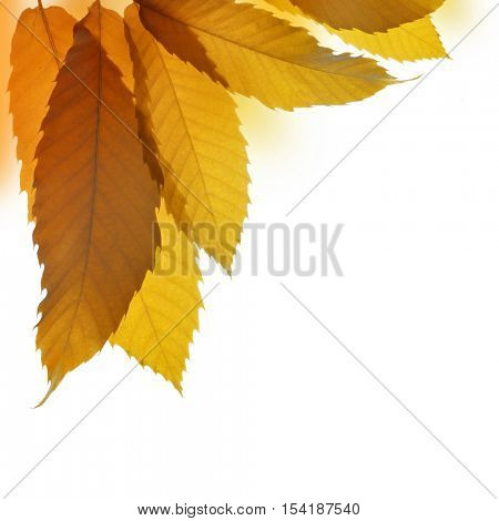 Autumn leaves of sweet chestnut tree (Castanea sativa) isolated on white background