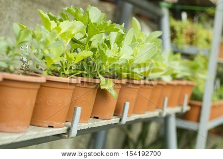 Interior of greenhouse for growing flowers and plants. Plants in pots