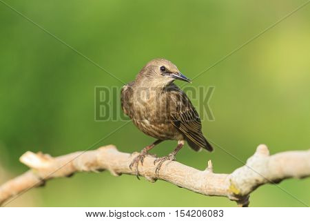 Starling curiously looks in the frame, young bird, black bird