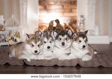Malamute Puppies Lying On Woolen Plaid