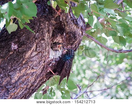 One female starling feeds its chick that sits with open beak in a tree's hollow.