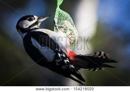 a greater spotted woodpecker or dendrocopos major