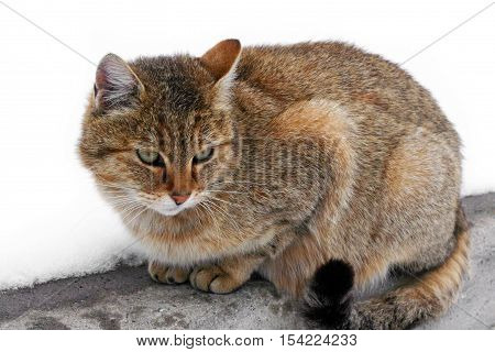 Cat in winter snow. Prints wet paws kitties. Tiger wild cat in the snow. Beautiful animals with us.