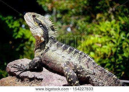 A water dragon in a botanic garden