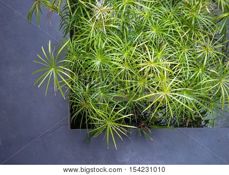 Top view of Papyrus green plant - Stock Photo