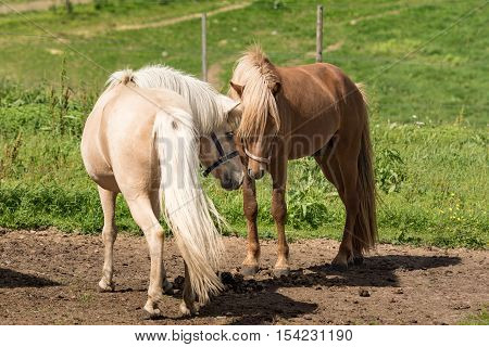 Icelandic horses getting to know each other making friends prior to mating.