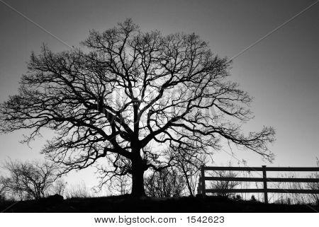 Oak Tree With Sunset