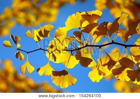 Bright yellow ginkgo twig against blue sky.