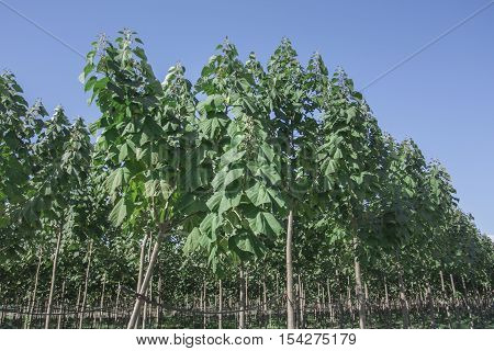 The particular characteristics of the botanical and ecological Paulownia generally make it a typical