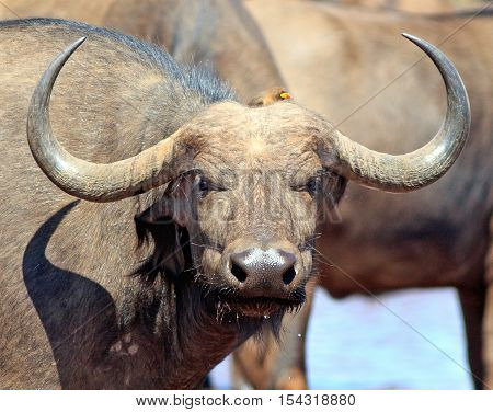 Close up of a Cape Buffalo face and horns with a small ox pecker on head in Bumi National Park - Zimbabwe