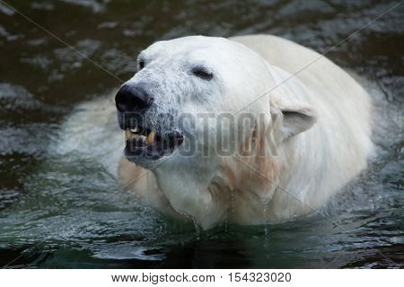 Polar bear (Ursus maritimus) swimming. Wildlife animal.