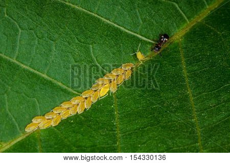 Ant milking aphids on a green leaf in summer