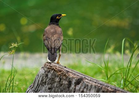 Common myna on the stubble in the park