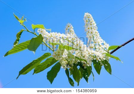 Bird cherry flowers. bird-cherry tree, leaf, bird,