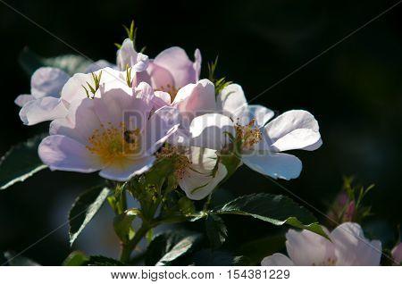 Dog-rose, Briar, Brier, Canker-rose, Eglantine