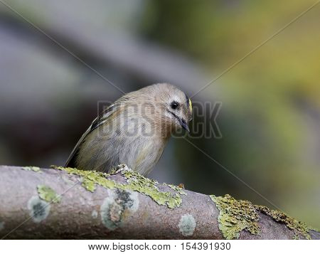 Goldcrest sitting on a branch in its habitat