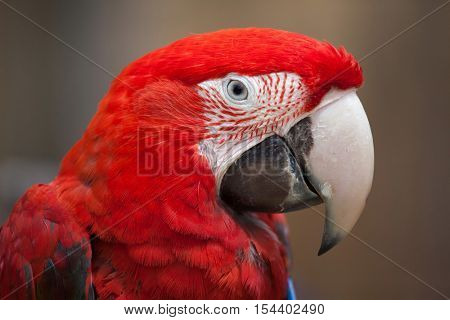 Green-winged macaw (Ara chloropterus), also known as the red-and-green macaw. Wildlife animal.