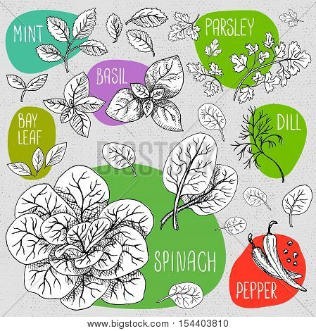 Set of stickers in sketch style, food and spices, old paper textured background. Green set spices, spinach, bunch of spinach, mint, parsley, dill, bay leaf, papper. Hand drawn vector illustration.