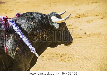 Details Of Animal Abuse In Spanish Bullfights
